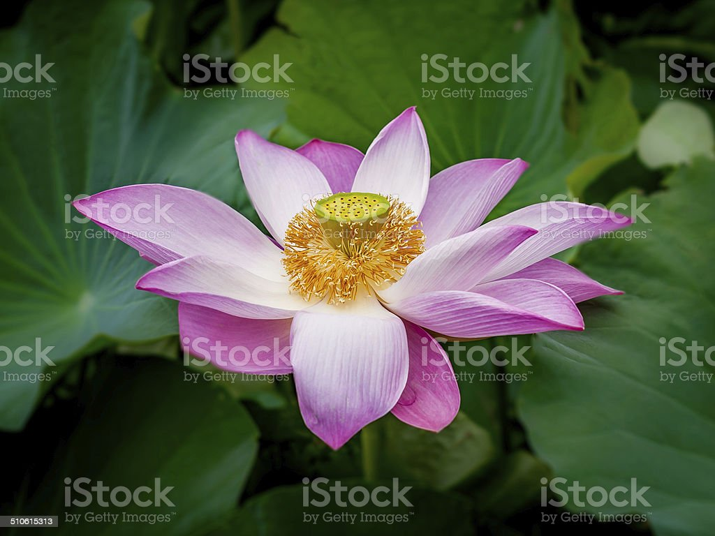Sacred lotus flower stock photo