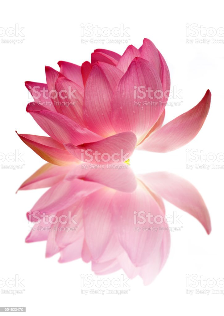 Sacred lotus flower with reflection stock photo