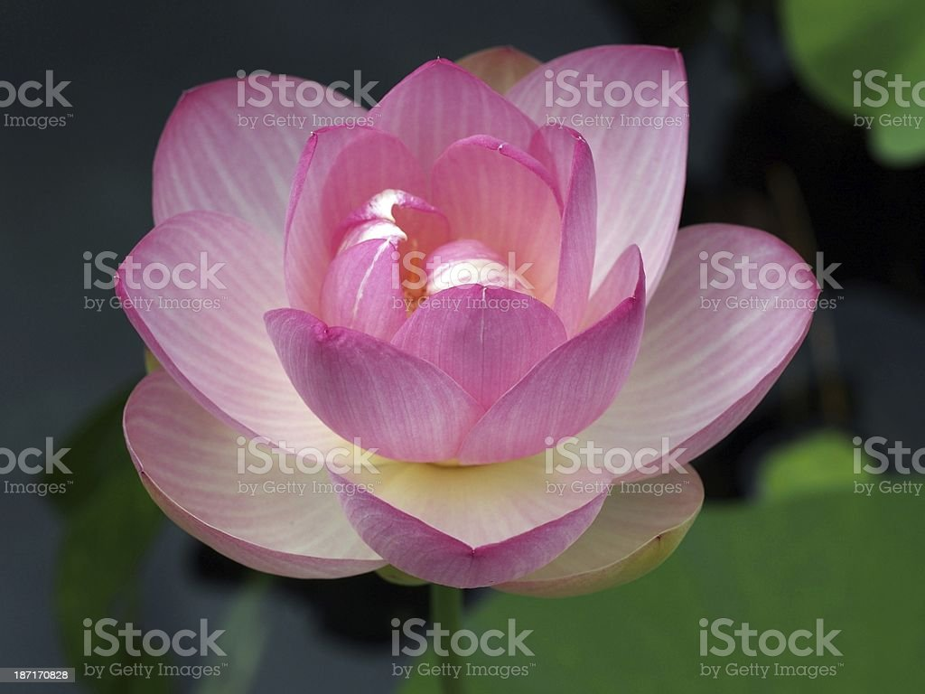 Sacred lotus : Nelumbo nucifera stock photo