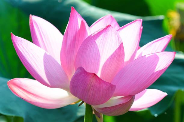 Sacred Lotus stock photo