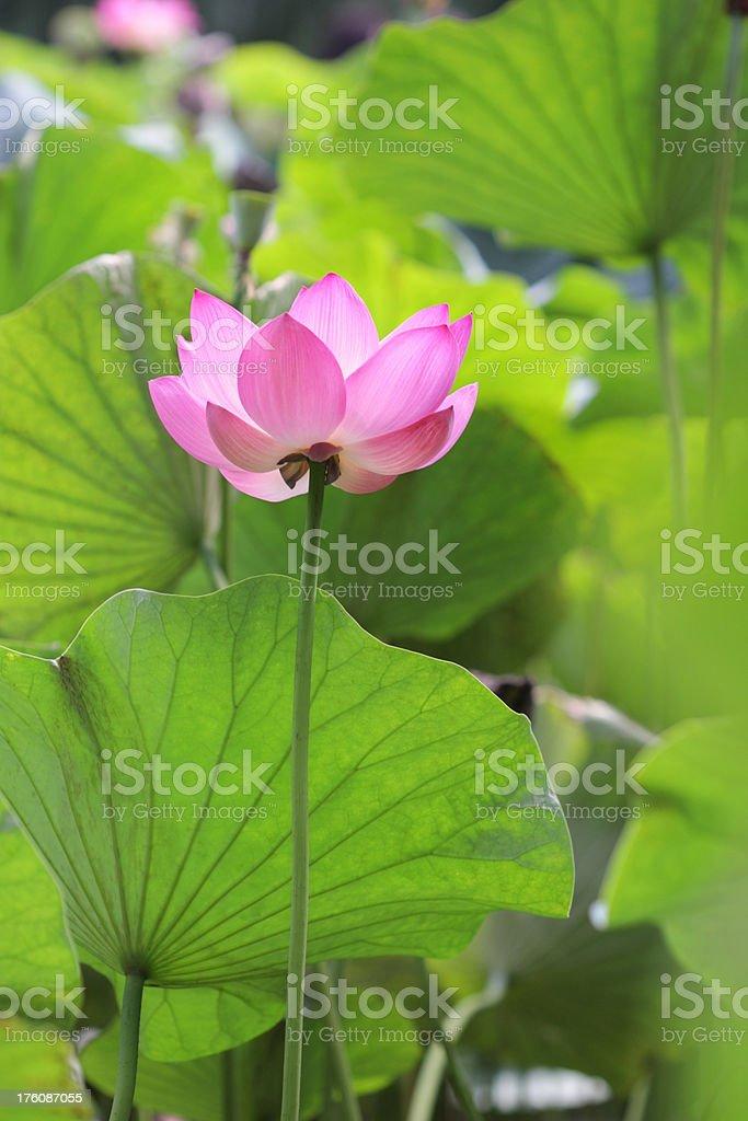 Sacred lotus royalty-free stock photo