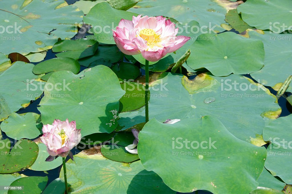 Sacred Lotus Stock Photo More Pictures Of Edible Flower Istock