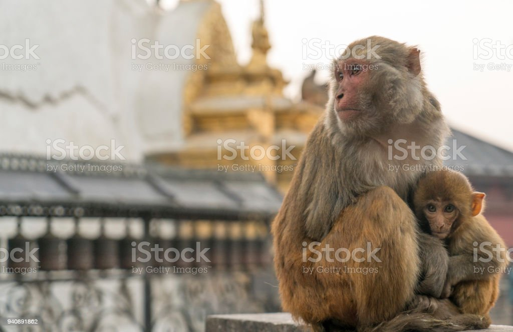 Sacred monkeys in Swayabunath temple in Kathmandu. macaque rhesus mother and baby stock photo