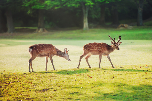 sacred sika deers at Nara park in the morning