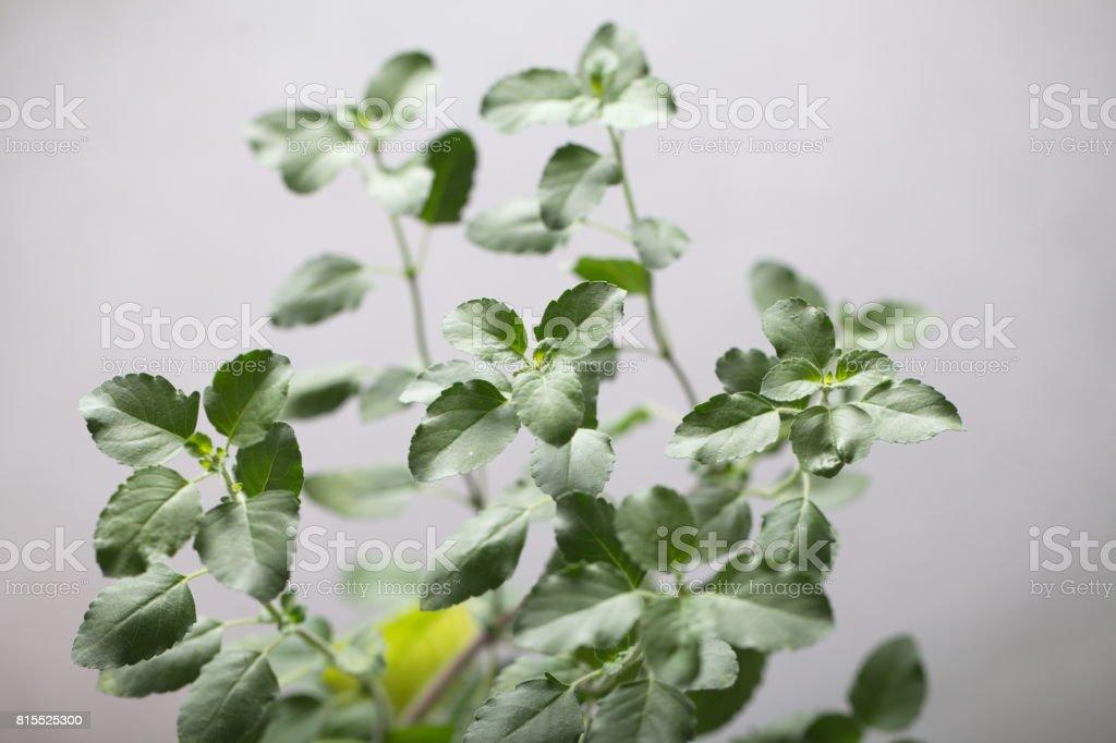 Sacred tulasi plantм stock photo