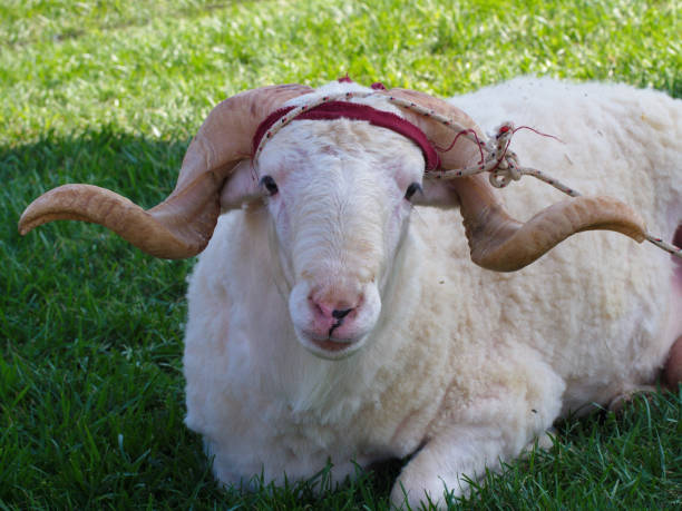 sacrificial lamb - cud stock pictures, royalty-free photos & images