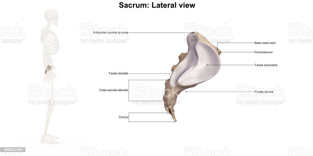 Sacrum Lateral view stock photo