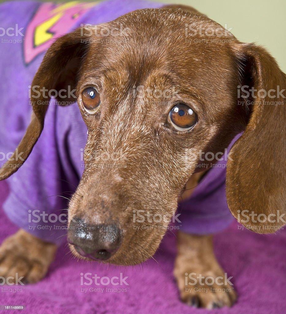 Sad Aged Brown Daschund Pose In Purple royalty-free stock photo