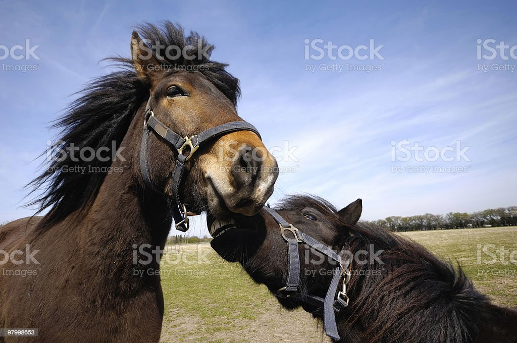 Sad and angry horse couple royalty-free stock photo