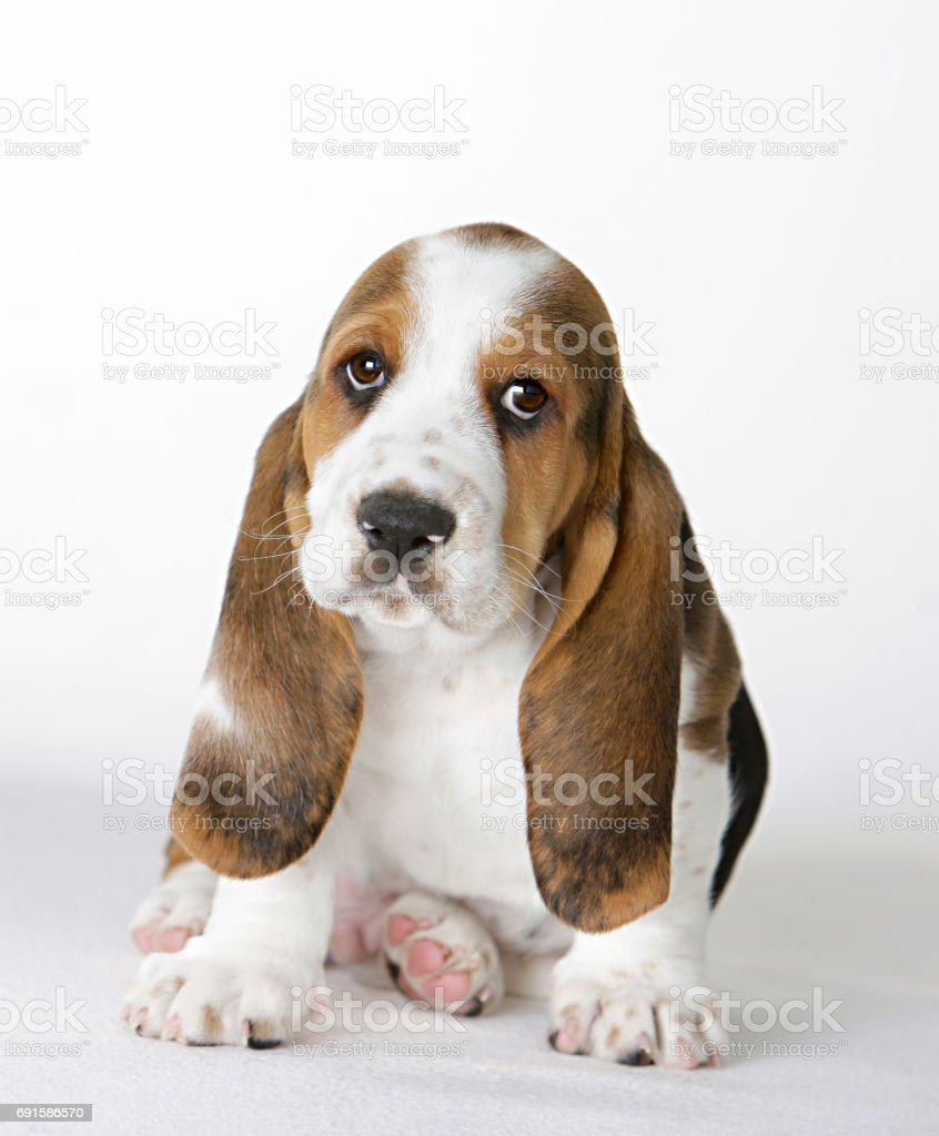 Sad Basset Hound Puppy Stock Photo & More Pictures of Animal | iStock