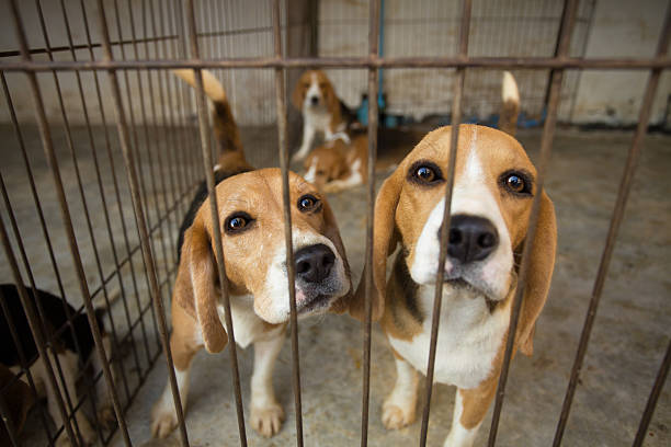 Sad Beagle Dog in cage Sad Beagle Dog in cage beagle stock pictures, royalty-free photos & images