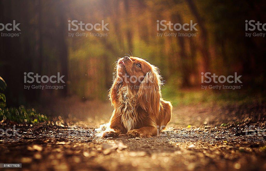 sad beautiful cavalier king charles spaniel is waiting at sunset stock photo