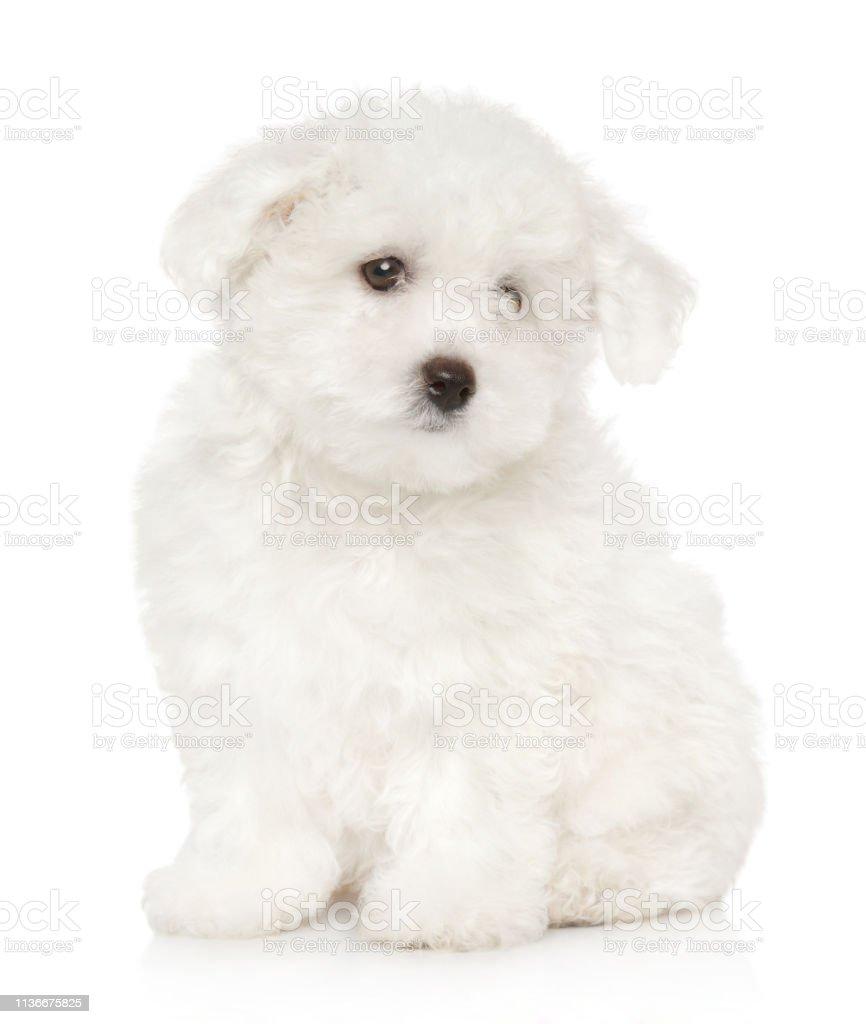 Sad Bichon Frise Puppy On White Background Stock Photo Download Image Now Istock