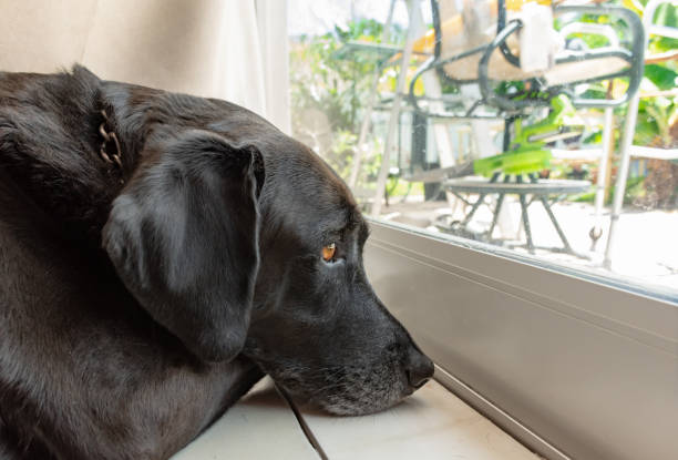 sad black lab laying inside looking out a glass door to the backyard stock photo