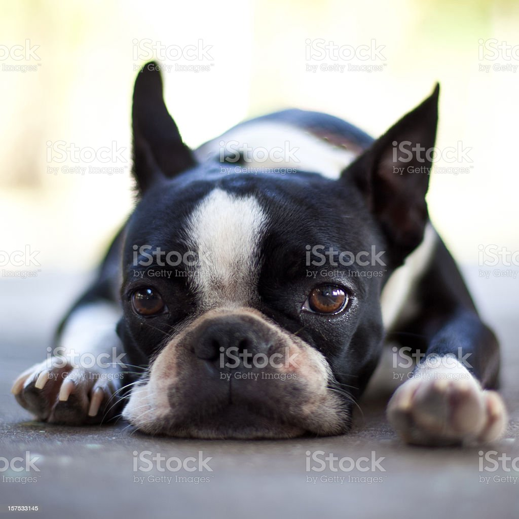 Triste Boston Terrier perro - foto de stock