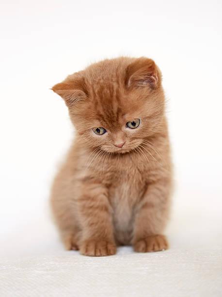 Sad british short hair kitten picture id523628926?b=1&k=6&m=523628926&s=612x612&w=0&h=yrzeugyu 9pbwevwpyqph15zsmd91lzi2vj5fmh5dw4=