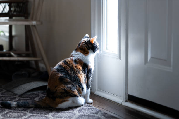 sad, calico cat sitting, looking through small front door window on porch, waiting on hardwood carpet floor for owners, left behind abandoned - котик яркий стоковые фото и изображения