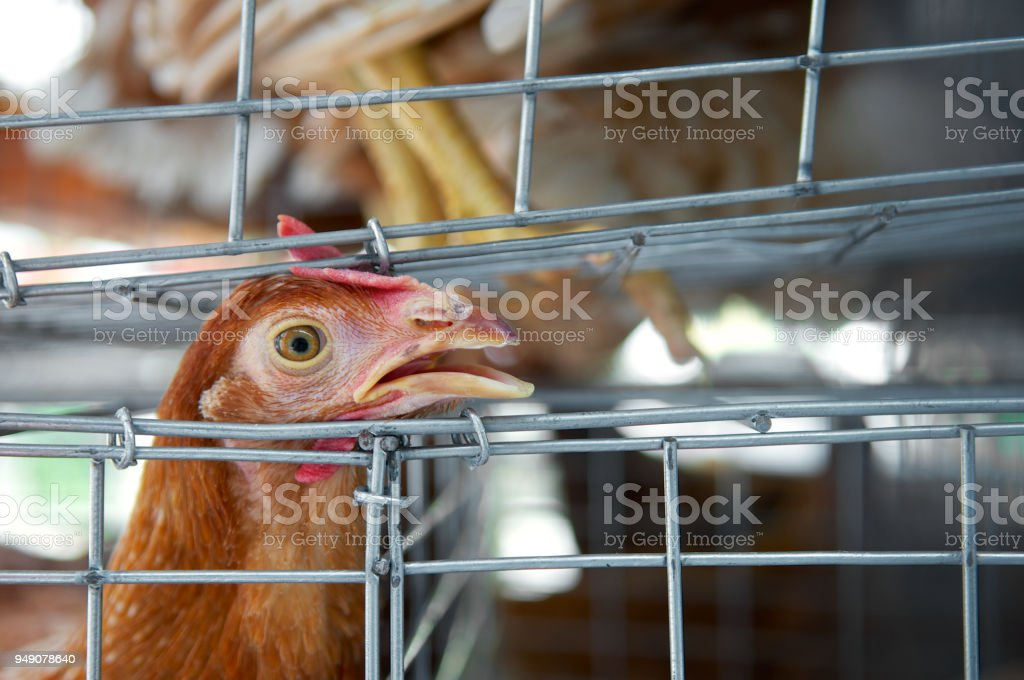 Sad chicken or hen in the cages. Sick chicken. Epidemic, bird flu, health problems. Loneliness and sadness for sell in the market. Close up. stock photo