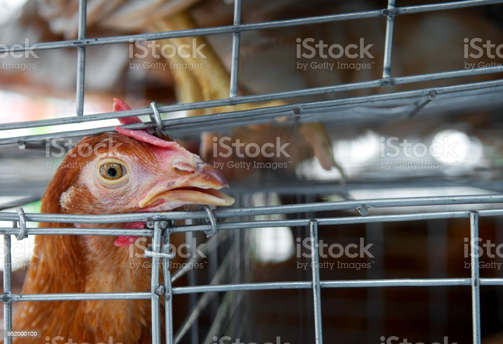 Sad chicken or hen in the cages. Sick chicken. Epidemic, bird flu, health problems. Loneliness and sadness for sell in the market. Torture animals. Close up. stock photo