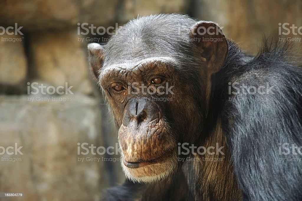 Sad Chimp royalty-free stock photo