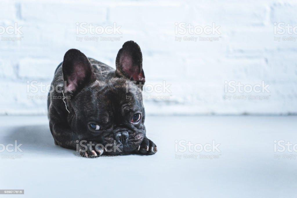 Sad cute French bulldog lying on floor stock photo