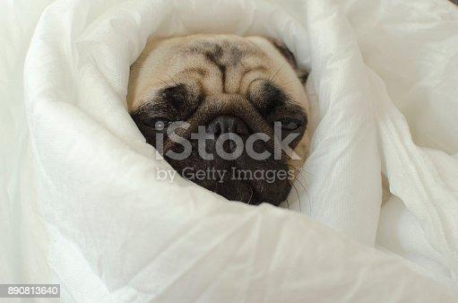 istock Sad  dog breed pug in blanket 890813640