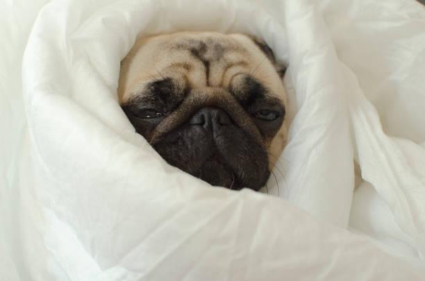 traurig hunderasse mops in decke - kaltes wetter stock-fotos und bilder