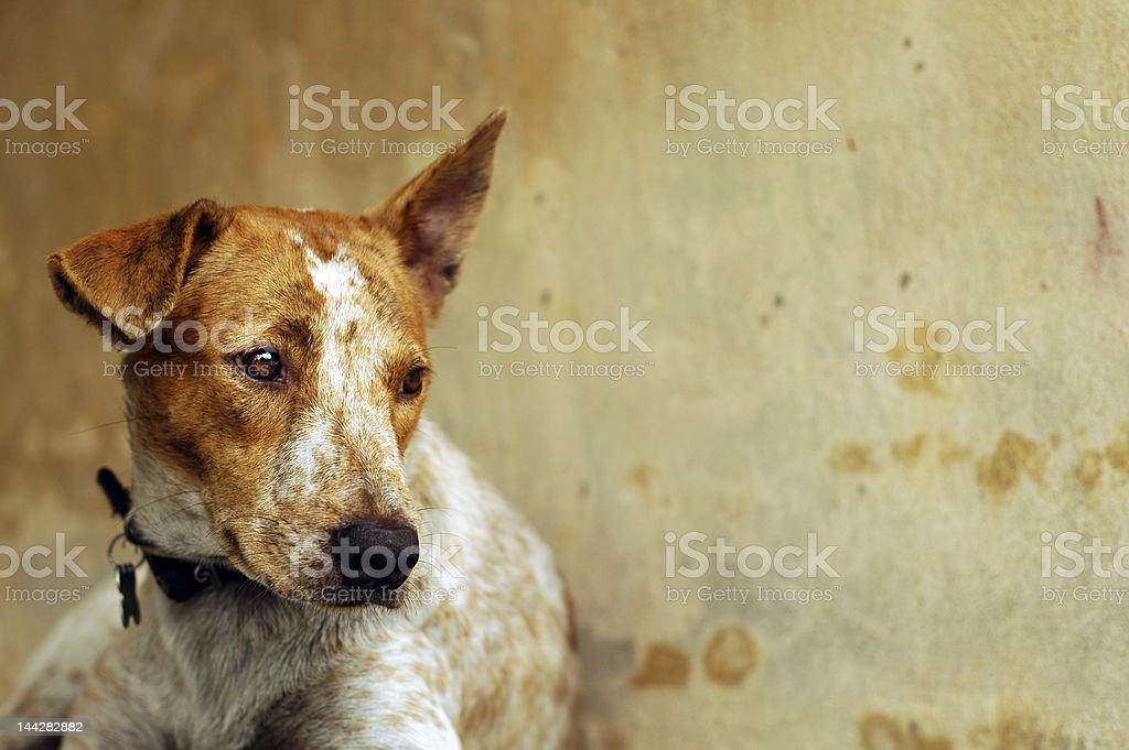 Sad Dog stok fotoğrafı