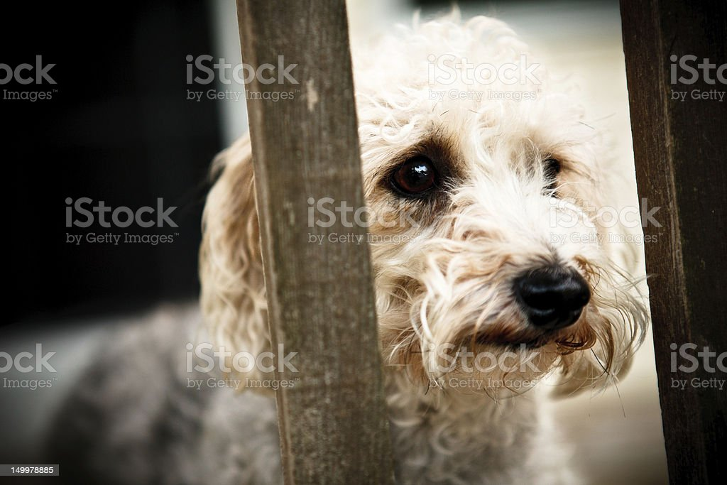 Sad Dog yorkie bichon watching from behind fence. Dog Stock Photo