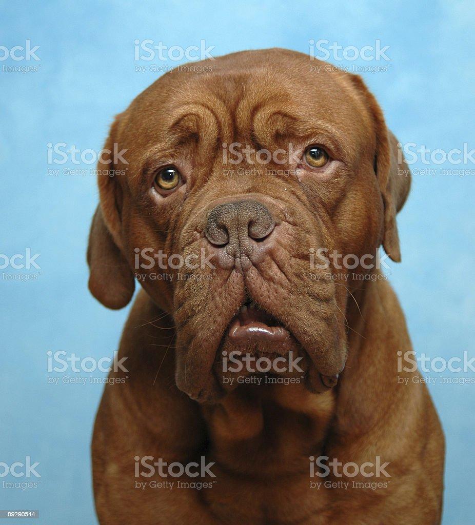 Sad dog royalty-free stock photo