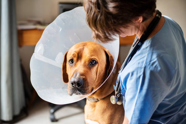 Sad dog sitting with a vet and wearing a protective collar around his neck stock photo