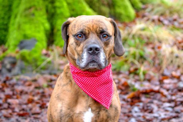 Sad dog stood in woodland with bandana stock photo