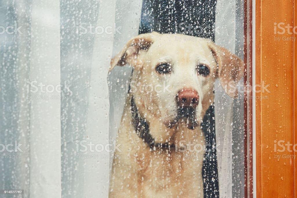 Sad dog waiting alone at home stock photo