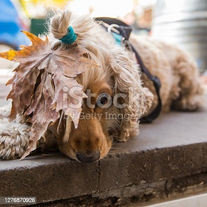 A Spanish Cocker dog waiting for it's owner, looking sad