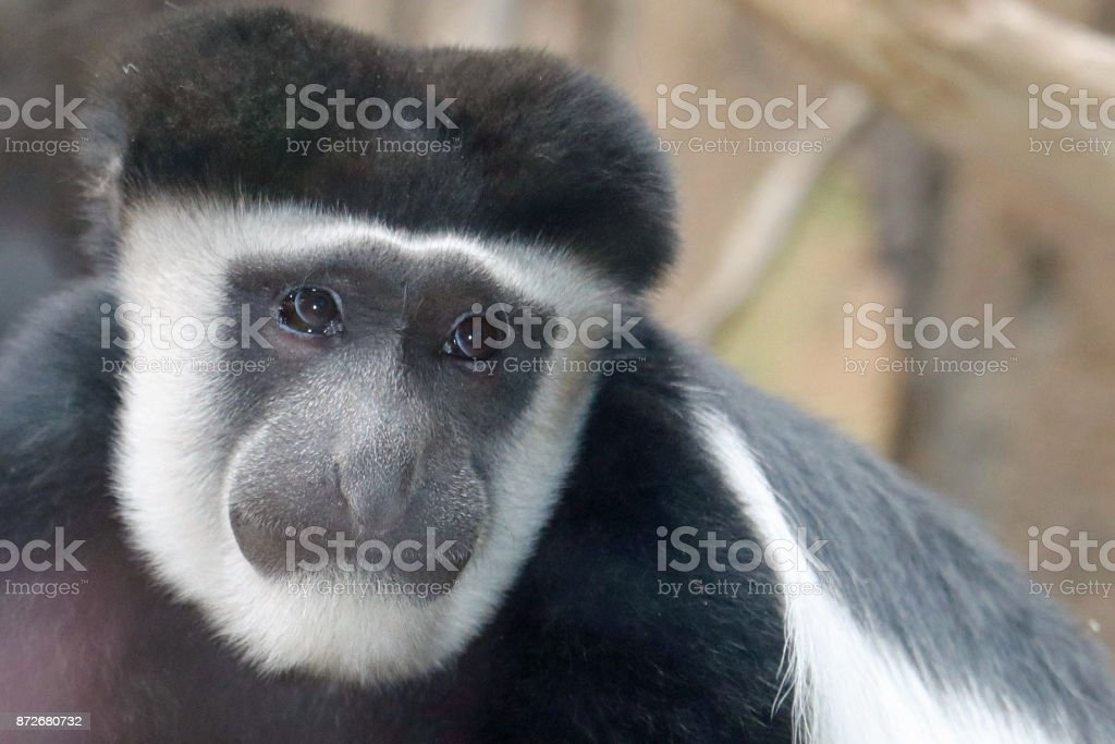 Sad Eyed Colobus Monkey stock photo