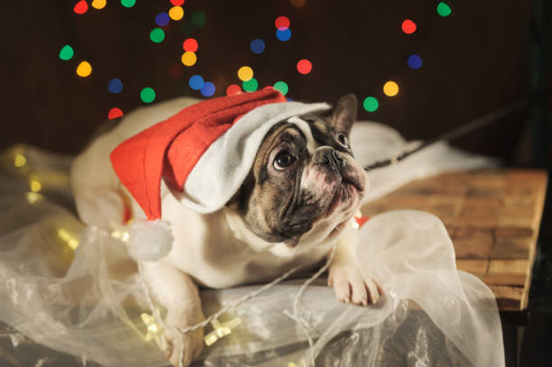 sad french bulldog in santa hat on garland lights background. - deplorable stock pictures, royalty-free photos & images