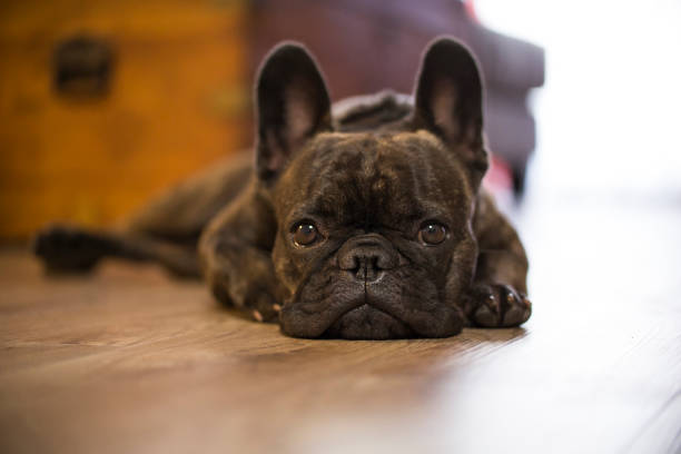 sad french bulldog puppy on floor - frowning stock photos and pictures