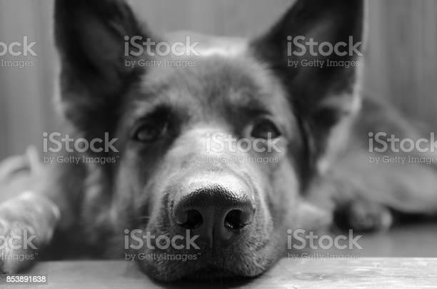 Traurige Deutsche Schäferhunde Stockfoto und mehr Bilder von Schwarzweiß-Bild