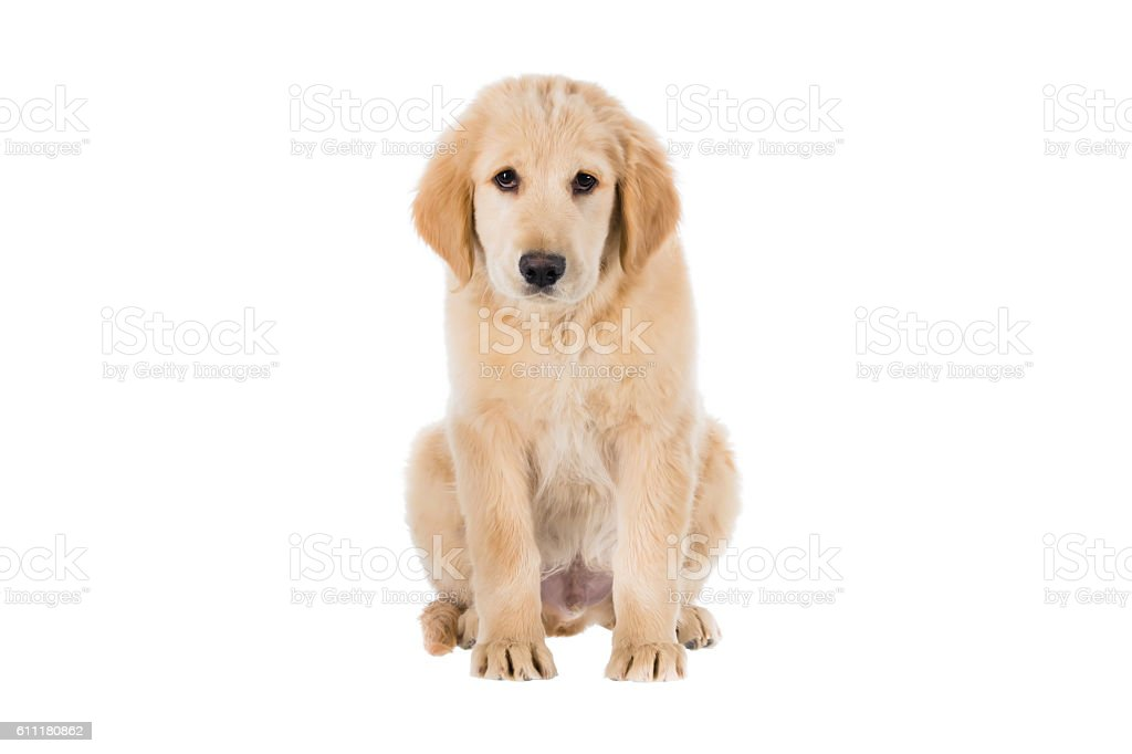 Sad Golden Retriever sitting front view isolated on white – Foto