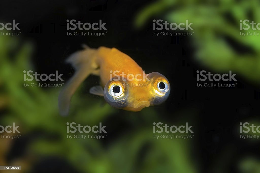 Sad Goldfish Bug-eyed gold fish with a big frown. Animal Stock Photo