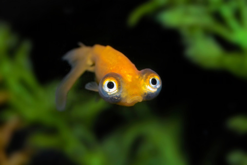 Bug-eyed gold fish with a big frown.