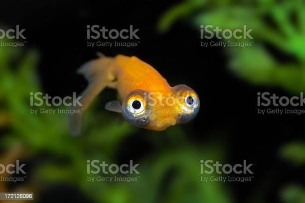 Sad Goldfish Stock Photo - Download Image Now