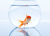 Over sized gold fish in a small bowl looking sad.