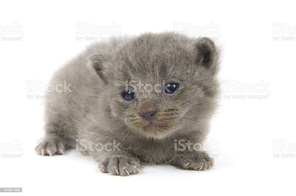 Sad gray kitten royalty-free stock photo