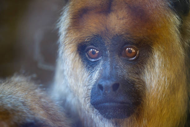 sad howler monkey (bugio) relaxing, looking at camera - pantanal , brazil - bugio imagens e fotografias de stock
