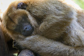 istock Sad howler Monkey (bugio) relaxing, looking at camera - Pantanal wetlands, Brazil 1152733593