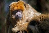 istock Sad howler Monkey (bugio) relaxing, looking at camera - Pantanal wetlands, Brazil 1152734712