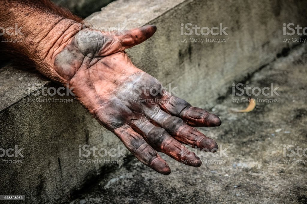 sad imprison orangutan hand stock photo