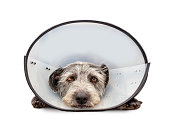 Sad injured dog wearing a protective veterinary cone around neck to protect an injury while laying in studio on white background