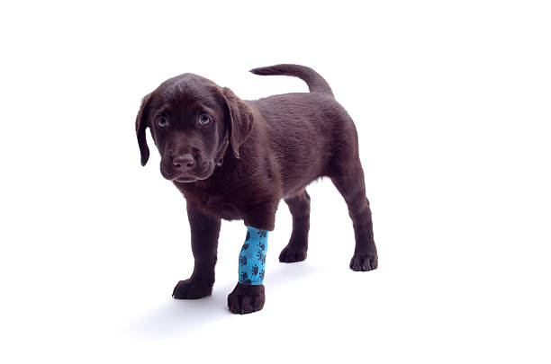 Sad injured labrador puppy – Foto